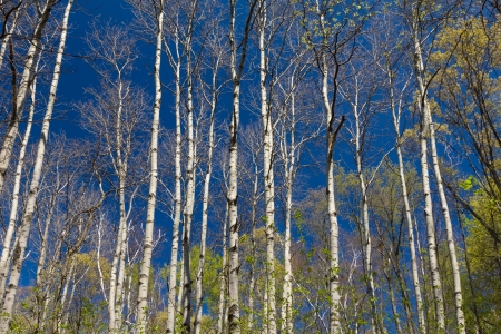 A Stand of Aspen in Early Spring photo