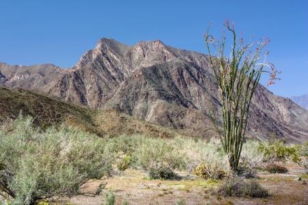 ocotillo: Ocotillo Plant Blooms at Hellhole Canyon at Anza-Borrego Desert Stock Photo