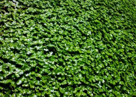 wall ivy: Jard�n Ingl�s Ivy contexto de la pared Foto de archivo