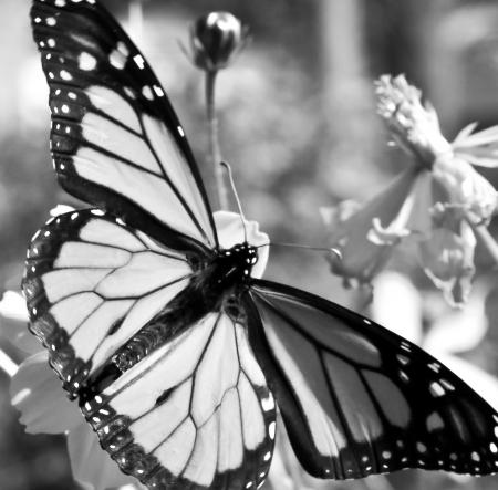 plexippus: Migrating Monarch Butterflies in October