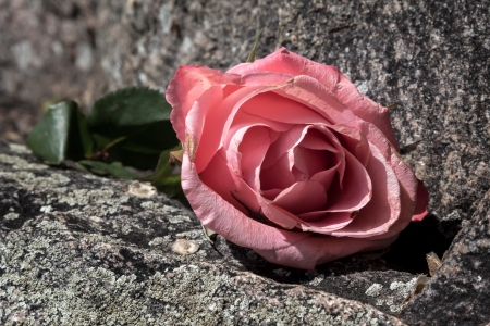 Discarded Faded Rose atop Rocks