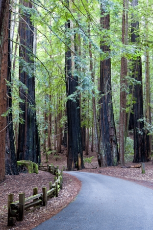 A Road Leading Through the California Redwood Forest at Big Basin  photo