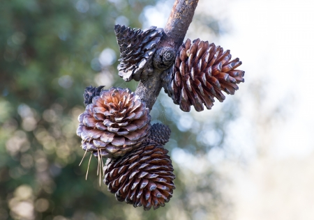 Cluster of Hanging Large Pine Cones with White Open Space Imagens