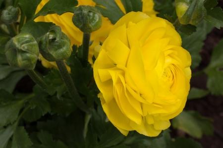 Yellow Ranunculus Flower Macro Close-up