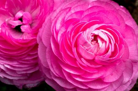 Pink Ranunculus Flower Macro Close-up Imagens