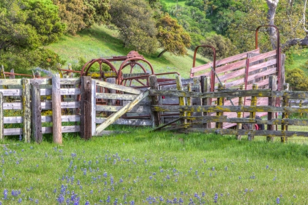 chaparral: Silver Lupine Growing Wild in Meadow in the Fenced Chaparral of Californias Central Coast. Stock Photo