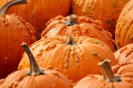 bumpy: Rows of Halloween Pumpkins Selectively Focused.