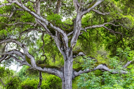 towering: Towering Branches of Hybrid Live Oak Tree Named Quercus x Chasei. Stock Photo