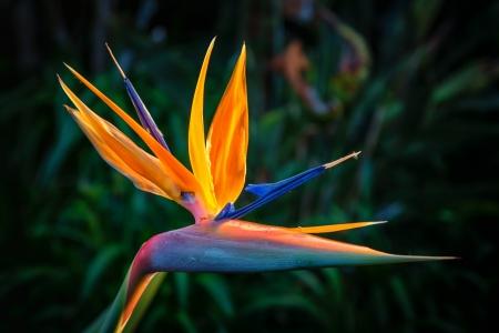 ave del paraiso: Aves del para�so de plantas en flor de temporada completa