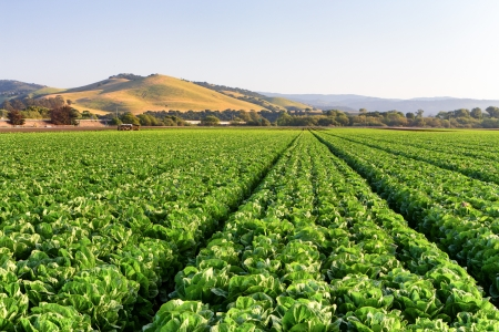 california coast: Campo de la lechuga en Salinas Valley, California.