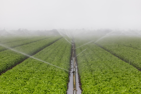 irrigated: Lettuce Fields in Salinas Valley Irrigated by Sprinkler System