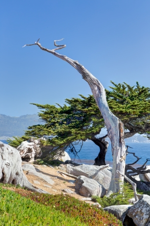 The Ghost Tree as it Overlooks the Pacific Oceaon on the 17 Mile Drive at Pebble Beach, California. Фото со стока