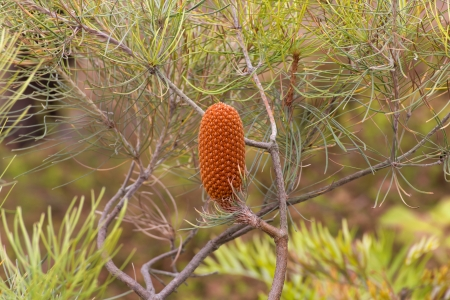 pinus sylvestris: Single Upright Conifer Cone