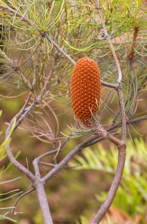 pinaceae: Single Upright Conifer Cone