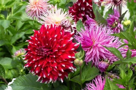 pastel colours: Dalias en colores rojos y pastel