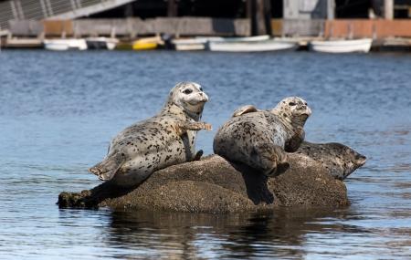 monterey: Harbor Seals at Rest on Rocks in Monterey Bay, California