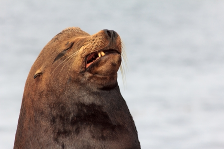 sneer: Sea Lion with a Sneer and a Scowl Stock Photo