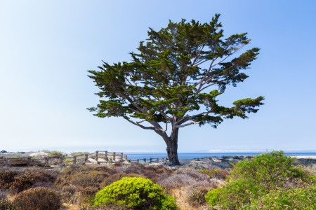 A Single Cyprus Tree Along the Path to Monterey Bay, California photo