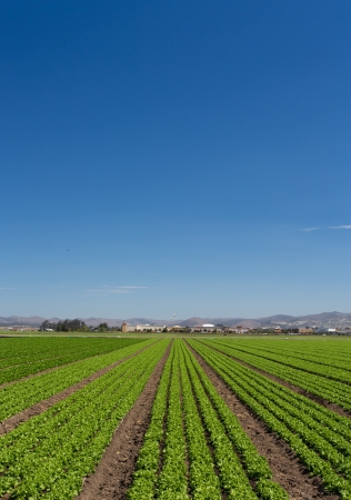 Panoramic Vertical  View of Newly Planted Lettuce Field in Salinas, California Zdjęcie Seryjne