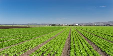 Panoramic View of Newly Planted Lettuce Field in Salinas, California Stockfoto
