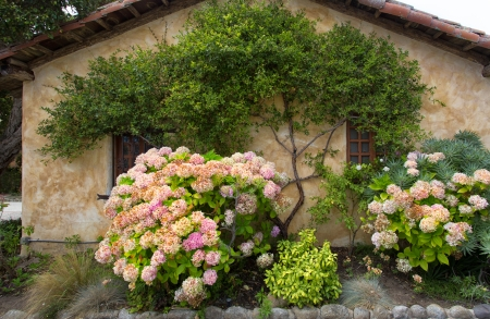adobe wall: Rosa Hydrangea piante da fiore contro Warm Adobe Wall Archivio Fotografico