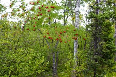 gooseberry bush: Ripe Gooseberry Bush at Gooseberry State Park, Minnesota