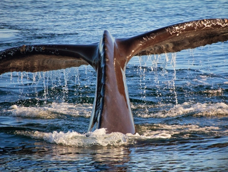Diving Humpback Whale In Monterey Bay, California Standard-Bild