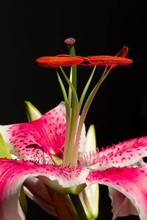 stargazer lily: Upright Stargazer Lily Macro Vertical  Image Stock Photo