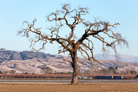 Gnarled Lone Tree on the Western Plain photo