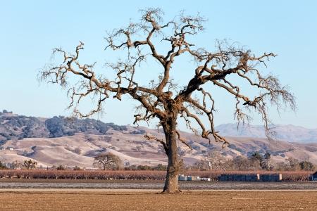 gnarled: Gnarled Lone Tree on the Western Plain