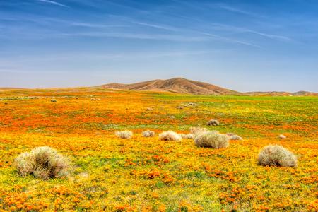 カモシカの谷、カリフォルニアのケシ 写真素材