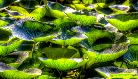 grouping: Grouping of crowded Lily Pads on Pond Stock Photo