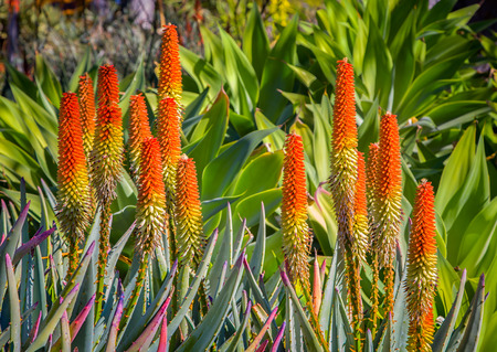 grouping: Grouping of orange Aloe Ferox succulent plans