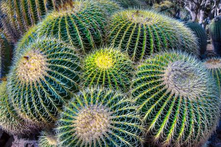 grouping: Grouping of Barrel Cactus close up. Stock Photo