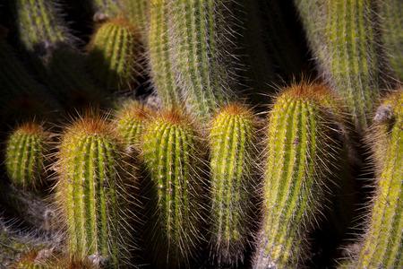 grouping: Grouping of desert cactus close up. Stock Photo
