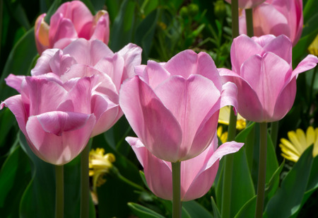 grouping: Grouping of Pink Tulips in seasonal bloom.
