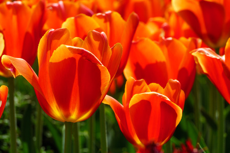 grouping: Grouping of Red Tulips in seasonal bloom.