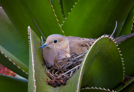 Nesting Mourning Dove hidden in aloe cactus.