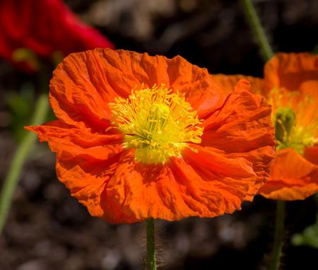 grouping: Grouping of California Orange Poppies.