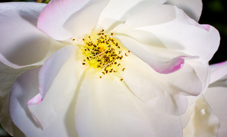 hint: White rose macro close-up with a hint of pink. Stock Photo