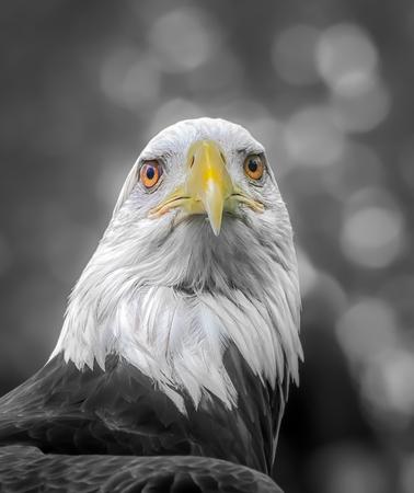 American Bald Eagle portrait in selective color.