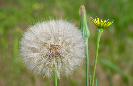 Close-up macro of dandelion seed head and flower in bloom.