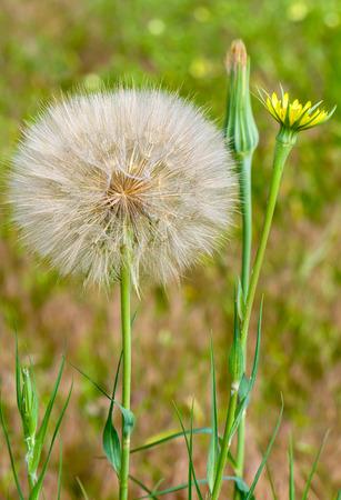 dandelion seed: Close-up macro of dandelion seed head and flower in bloom.