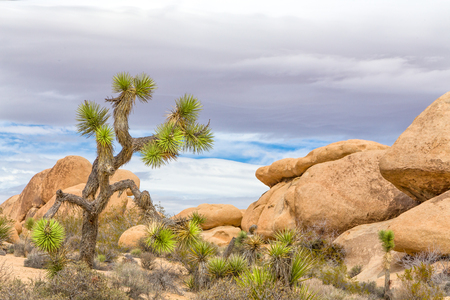 Verdant Yucca standing before spectacular rock formation at Joshua Tree National Park.