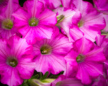 asterids: Grouping of pastel petunia blossoms close-up and in color.