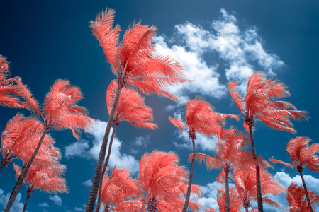 infra red: Palm trees and sky in infrared color at Key West, Florida.
