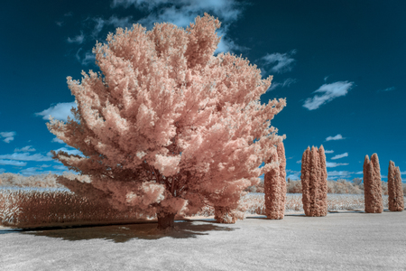 A stand of White Pine and Cedar trees with corn field backdrop in infrared color.