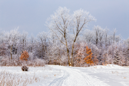 Hoar Frost in the deciduous forest of Willow River State Park, USA.