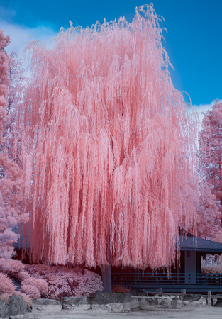 Towering vertical willow tree in infrared color.