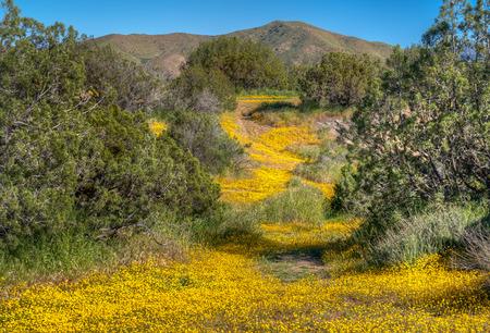 Flowering desert floor at Vazquez Rocks, California in Spring.